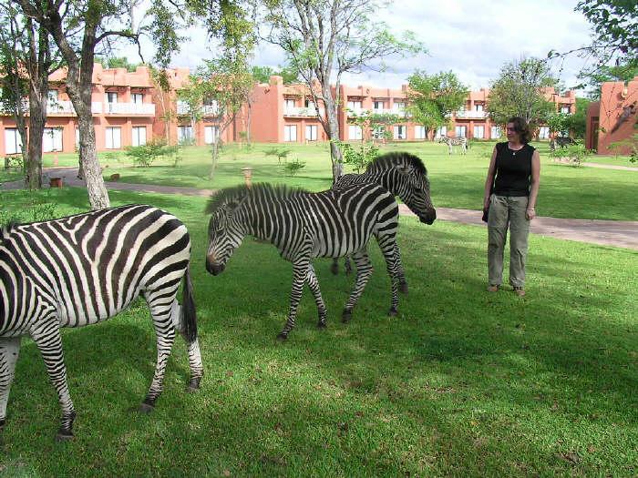 Kicking Zebra